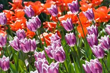 Purple And Red Blooming Tulips Field