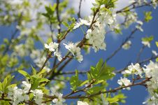 Free White Flowers Royalty Free Stock Photography - 14267977