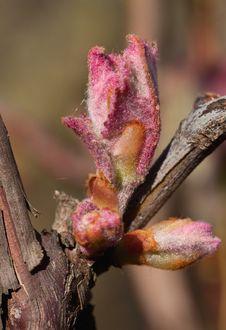 Bud Of Grape Stock Image