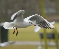 Free Black-headed Gull Royalty Free Stock Photos - 14269028