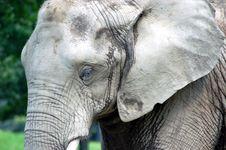 Free Elephant Skin Wrinkles Royalty Free Stock Photos - 14269068