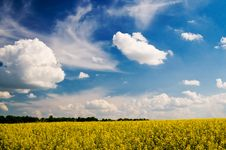 Free Golden Rapeseed Field. Royalty Free Stock Photography - 14269097
