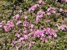 Free Pink Flowers Royalty Free Stock Images - 14269099