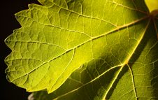 Free Dramatically Lit Grape Leaf On The Vine Stock Images - 14269804