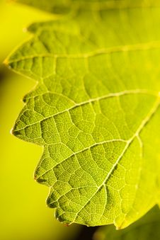 Free Dramatically Lit Grape Leaf On The Vine Royalty Free Stock Photography - 14269807