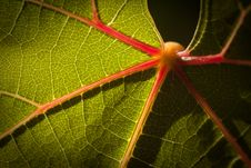 Free Dramatically Lit Grape Leaf On The Vine Royalty Free Stock Photos - 14269828