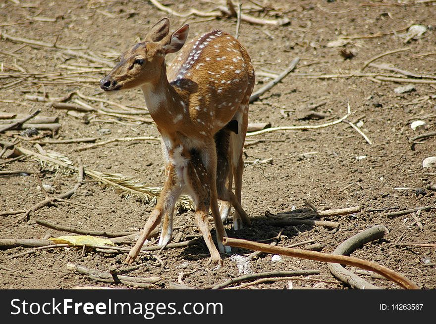 Deer feeding its fawn