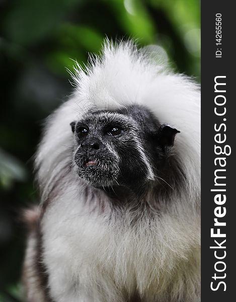 Confused Little Cotton Head Tamarin Monkey