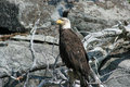Free Eagle On A Rock Stock Photography - 14270722