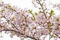 Free Sakura Blooming Flowers Stock Photo - 14274320