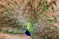 Free Peacock Stock Photos - 14279933