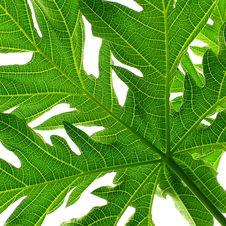 Free Papaya Leaf Royalty Free Stock Image - 14270976