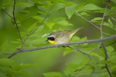 Free Yellow Throat Warbler: Geothlypis Trichas Royalty Free Stock Photos - 14271278