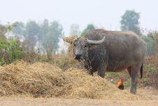 Free Buffalo Thailand Stock Photography - 14272342