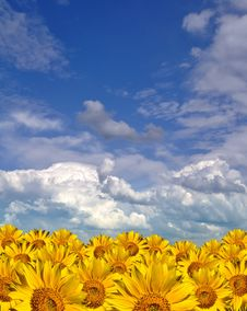 Free Gold Sunflowers Field Stock Images - 14273984