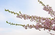 Sakura Blooming Flowers Royalty Free Stock Photography