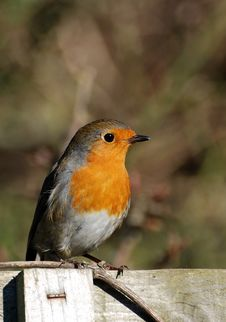Robin On A Fence Royalty Free Stock Photos