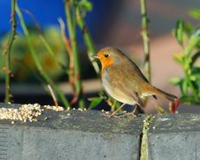 Robin On A Eall Royalty Free Stock Image
