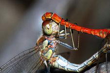 Free Ruddy Darters Stock Photo - 14274520