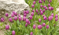 Free Tulips Flowerbed Stock Images - 14277074