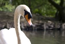 Free Mute Swan Stock Images - 14277314