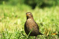 Free Blackbird. Royalty Free Stock Photography - 14277757