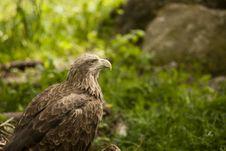 Free Eagle Royalty Free Stock Photos - 14278898