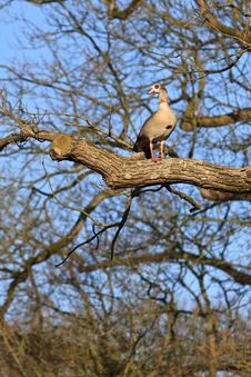 Egyptian Goose  Bird Sitting In A Tree Stock Image