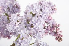 Free Lilac Stock Images - 14279634