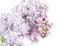 Free Branch Of Lilac Royalty Free Stock Photography - 14279727