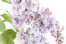 Free Branch Of Lilac Stock Images - 14279774
