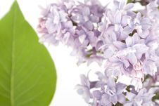 Free Branch Of Lilac Stock Photography - 14279862