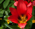Free Red Tulip Outdoors Stock Photo - 14282120