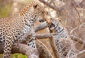 Free Two Leopards Playing On The Tree Royalty Free Stock Image - 14282756