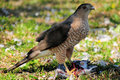 Free Hawk Eating Its Prey Stock Photography - 14286192