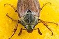 Free Maybug Royalty Free Stock Images - 14289859