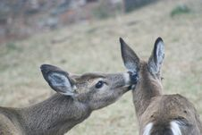 Doe Grooming Fawn In Poconos Stock Images
