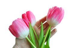 Free The Pink Tulips On A Hand Stock Images - 14280784