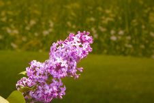 Branch Of Spring Lilacs Royalty Free Stock Photo
