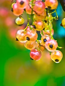 Free White Currant Stock Photography - 14282102