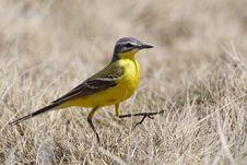 Free Mountain Yellow Sparrow Royalty Free Stock Photos - 14282158