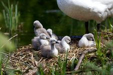 Cygnets On Their Nest Stock Photography