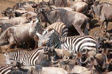 Free Herd Of Zebras (African Equids) Stock Photos - 14282713