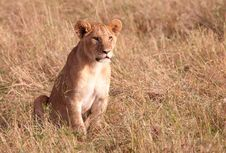 Free Lion Cub (panthera Leo) Close-up Royalty Free Stock Photos - 14282718