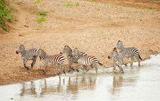 Free Herd Of Zebras (African Equids) Stock Photos - 14282743