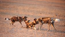 Free Three African Wild Dogs (Lycaon Pictus) Royalty Free Stock Photos - 14282748