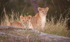 Free Lion Cubs (panthera Leo) Close-up Stock Images - 14282774