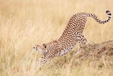 Free Cheetah (Acinonyx Jubatus) In Savannah Stock Image - 14282781