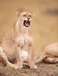 Lioness (panthera Leo) Close-up Royalty Free Stock Photo