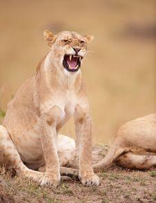 Free Lioness (panthera Leo) Close-up Royalty Free Stock Photo - 14282785